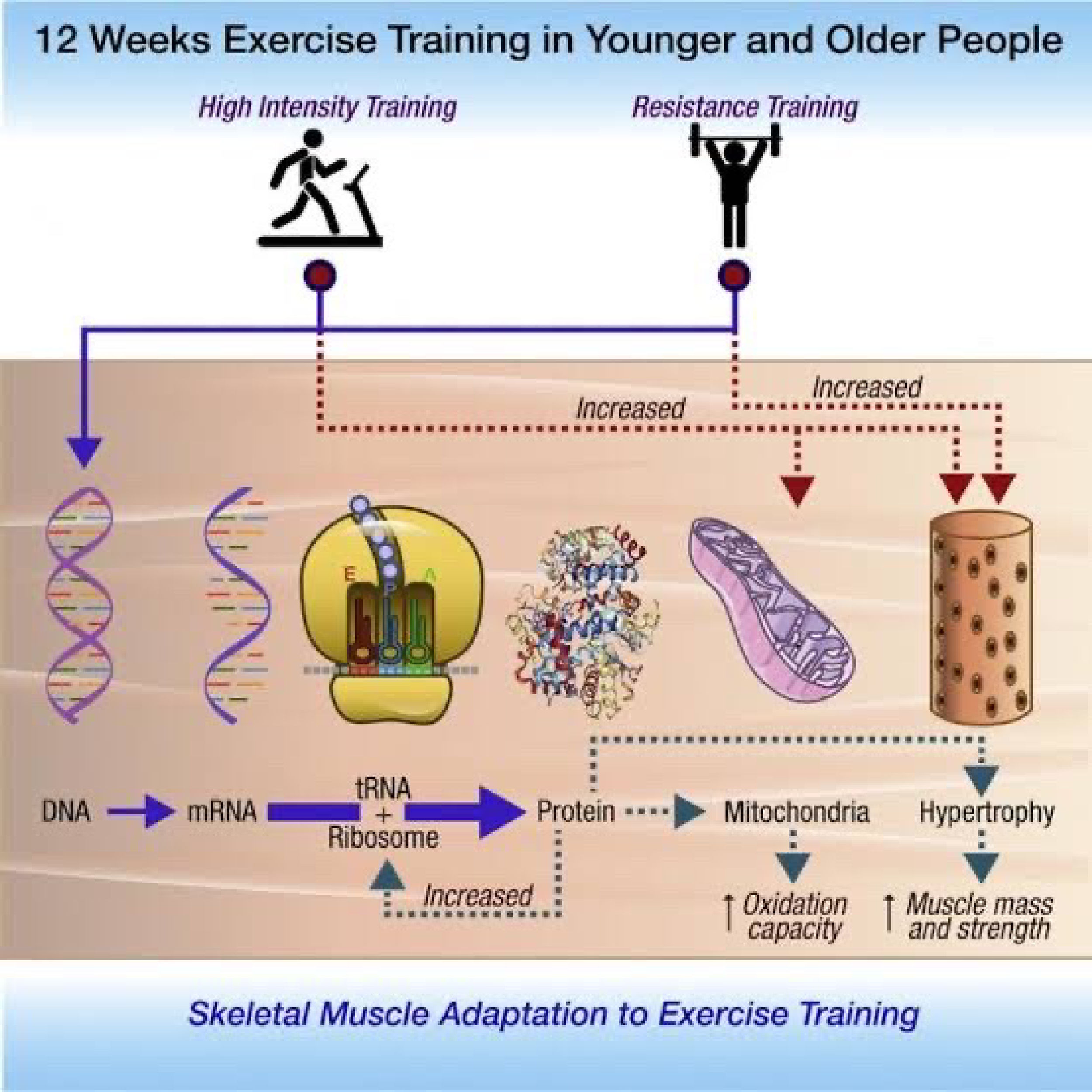 HIIT and impact on Mitochondria