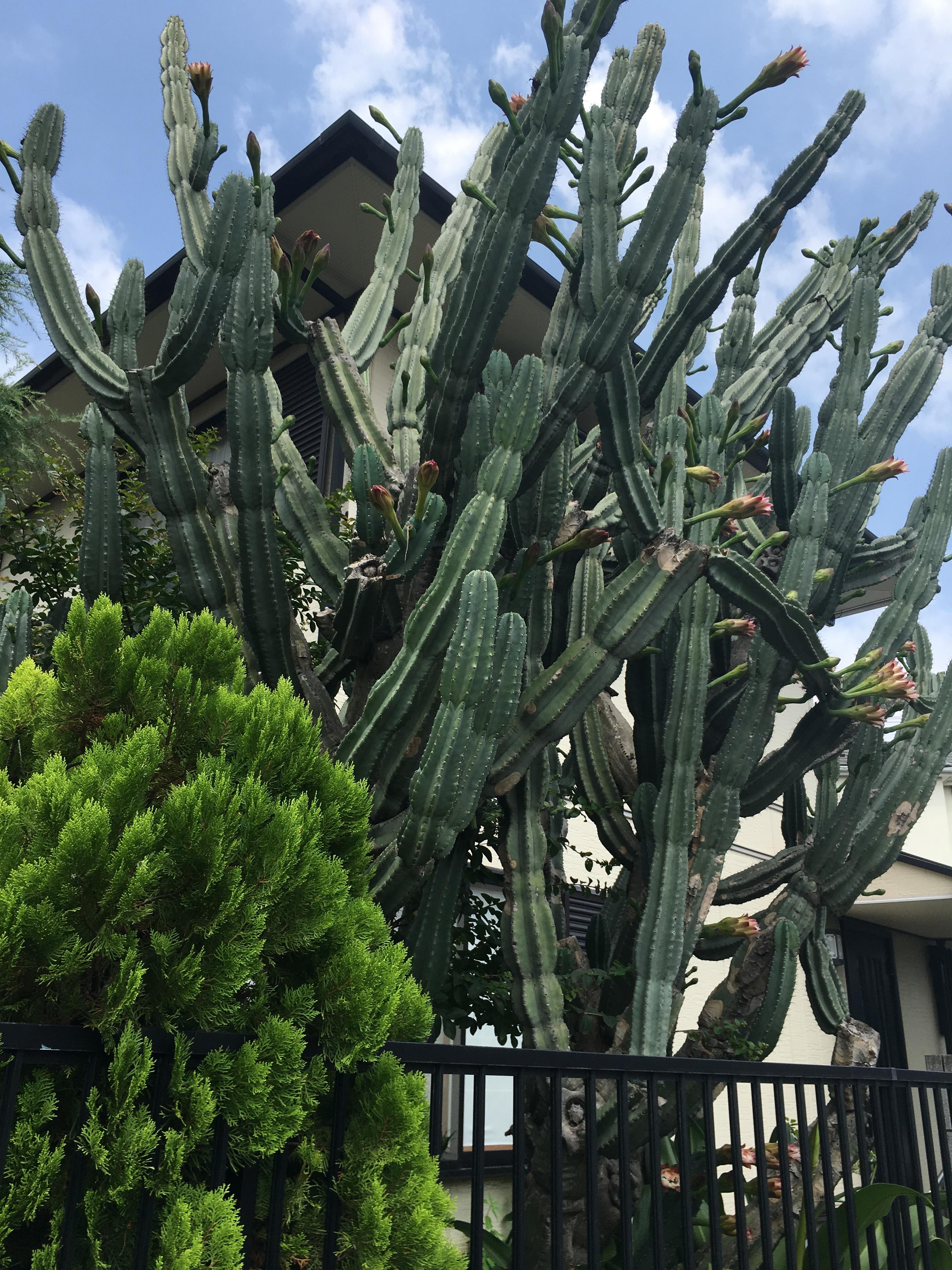 Giant garden cactus in Japan